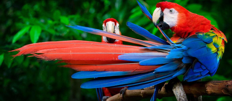 Macaw i Peru