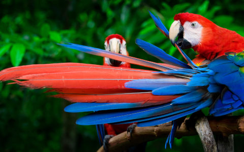 scarlet macaws perched Amazonas Papegøye Peru