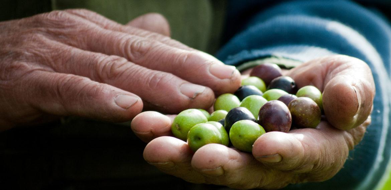 Italia-oliven