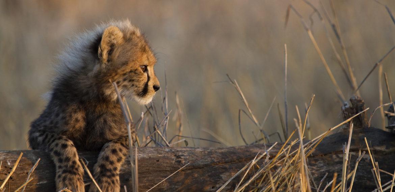 Gepard Kenya Afrika