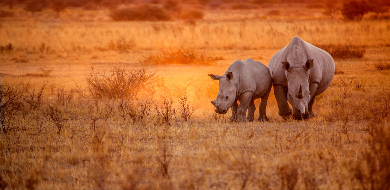 safari neshorn