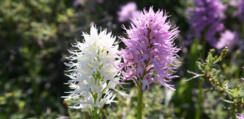 Nord- Kypros vandretur orkide