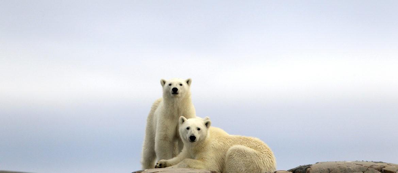 Isbjørner Svalbard