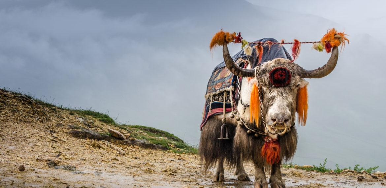 Yak Tibet