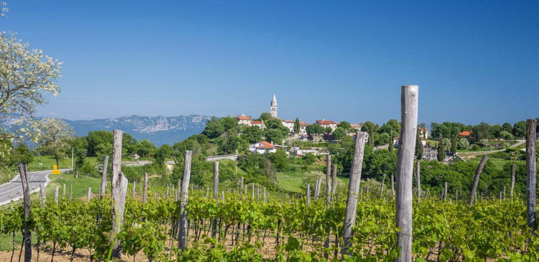 Kroatia Gracisce vinograd Foto Tourist board of central Istria