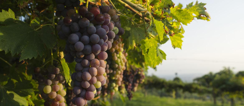 Vin vindruer
