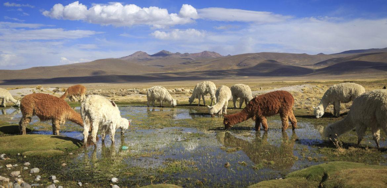 Lama Arequipa Peru