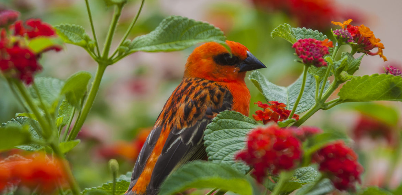 Reunion faune_terrestre36_cardinal_male_foudi_de_madagascar_-_CREDIT_IRT_-_yabalex_dts