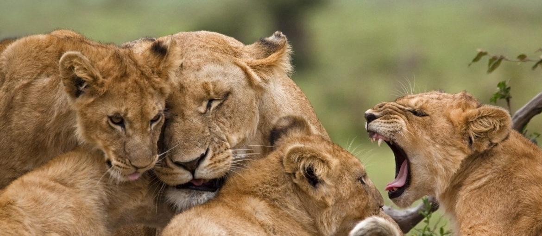 Løve Safari Afrika