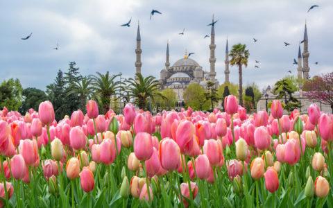 Tulipanene blomsterer foran Den blå moské.