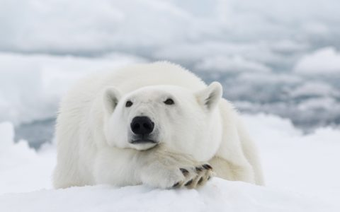 Svalbard isbjørn